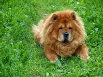 Brown chow chow dog Dina in the green grass Royalty Free Stock Image