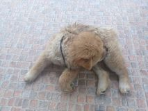 Chow Chow dog. Brown Chow Chow dog lay on the floor and lick her leg Royalty Free Stock Photo
