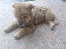 Lovely Chow Chow dog. Brown Chow Chow dog lay on the floor Royalty Free Stock Images