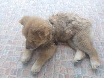 Lovely Chow Chow dog. Brown Chow Chow dog lay on the floor Royalty Free Stock Photography