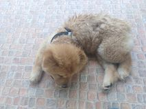 Lovely Chow Chow dog. Brown Chow Chow dog lay on the floor Stock Photo