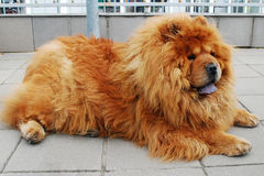 Brown chow chow dog living in the european city. Royalty Free Stock Images