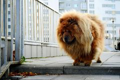 Brown chow chow dog living in the european city Royalty Free Stock Photography