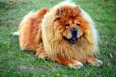 Brown chow chow dog living in the european city Stock Image