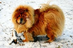 Brown chow chow dog living in the european city Royalty Free Stock Images