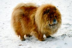 Brown chow chow dog living in the european city Royalty Free Stock Photo