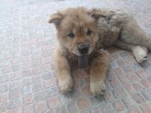 Chow Chow dog. Brown Chow Chow dog with long black tongue lay on the floor Royalty Free Stock Image