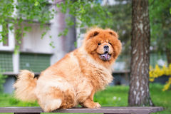 Brown chow chow dog sitting on a bench Royalty Free Stock Photo