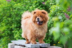 Brown chow chow dog standing on a bench Royalty Free Stock Images