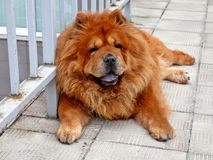 Brown chow chow living in the european city Royalty Free Stock Photography