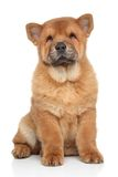Brown Chow chow puppy Stock Photography