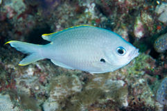 Brown Chromis Stock Images