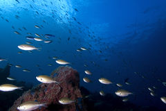 Brown Chromis fish, St. Lucia Stock Photos