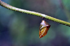 Brown chrysalis under green fescue Royalty Free Stock Photography