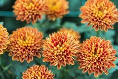 Brown chrysanthemum Royalty Free Stock Photos