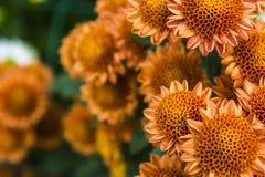 Brown chrysanthemum Stock Photos