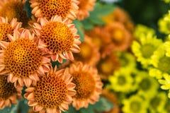 Brown chrysanthemum Stock Image