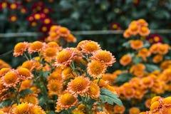 Brown chrysanthemum Stock Photo
