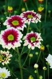 Brown Chrysanthemum Stock Images