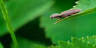 Brown Click Beetle, Agriotes obscurus on Nettle Leaf in a Sea of Green stock images