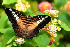 Brown Clipper Butterfly royalty free stock images