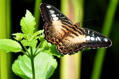 The Brown Clipper Butterfly Royalty Free Stock Photos