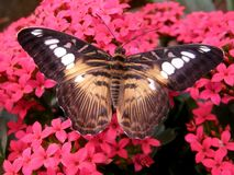 The Brown Clipper Butterfly Royalty Free Stock Images