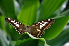 Brown Clipper Butterfly Stock Images