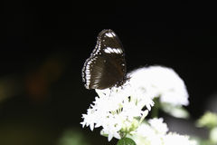Brown Clipper Butterfly. A Brown Clipper Butterfly is slurping nectar from a flower Stock Photos