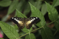 Brown Clipper Butterfly. A Brown Clipper Butterfly is resting on the leave Royalty Free Stock Image