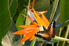 Brown Clipper butterfly on a bird of paradise bloom Royalty Free Stock Image