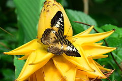 Brown Clipper butterfly Royalty Free Stock Photos