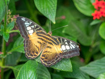 Brown Clipper Butterfly Stock Photo
