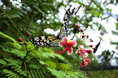 Free Brown Clipper Butterfly - Philippines Stock Images - 38794764