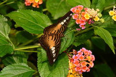 A Brown Clipper Butterfly portrait Stock Photos
