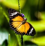 Brown Clipper butterfly on a purple flower. The brown clipper butterfly is a species of nymphalid butterfly found in south and southeast Asia, mostly in forested stock images
