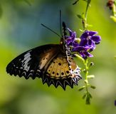 Brown Clipper butterfly on a purple flower. The brown clipper butterfly is a species of nymphalid butterfly found in south and southeast Asia, mostly in forested stock image
