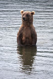 Brown Coastal Bear looking for salmon Stock Photos