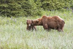 Grizzly Bear Pair Being Affectionate with One Another Royalty Free Stock Photo