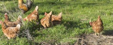 Brown cock and chickens  in a green garden Stock Photos