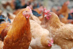 Brown cock Stock Images