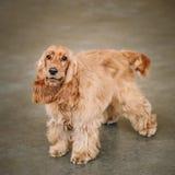 Brown Cocker Spaniel Angielski pies Obrazy Stock