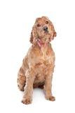 Brown cocker spaniel dog Stock Photos
