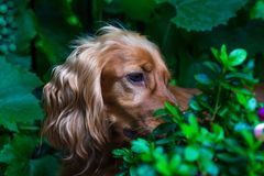 A brown cocker spaniel dog. Among the bushes in the garden - selective focus stock images