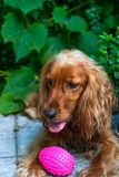A brown cocker spaniel dog. Sitting with a toy in the bushes in the garden - selective focus stock images