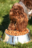 Brown Cocker Spaniel eating food Royalty Free Stock Image