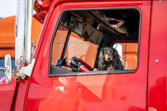Brown Cocker Spaniel looks out of the window of the red big rig semi truck as reliable driver and cab protector. In the window of a professional semi truck a stock photo