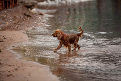 Brown cocker spaniel playing with stick on sand beach Royalty Free Stock Photos