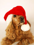 Brown cocker spaniel with red christmas hat 2 Royalty Free Stock Image