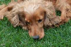 Brown Cocker Spaniel resting on grass Royalty Free Stock Photography